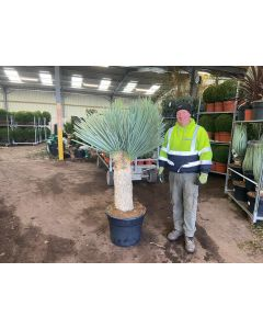 Yucca Rostrata Blue Swan 65 Litre Pot