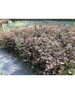 Beech Hedging Purple 5 Litre Pot 80/100cm