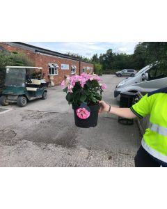 Hydrangea Pink Lace Cap 5 Litre Pot