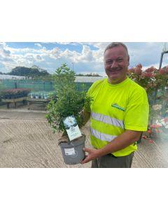 Azalea knaphill Viscosa 5 Litre Pot