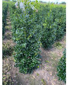 Ilex meserveae Heckenfee Root Ball  200-230cm Extra Heavy Bush