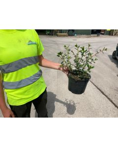 Escallonia Apple Blossom 2 Litre Pot
