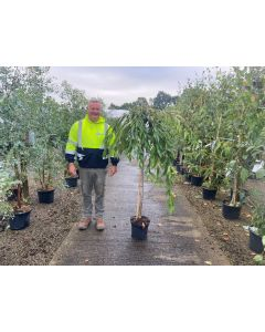Prunus subhirtella Pendula Rubra Half Standard 10 Litre Pot