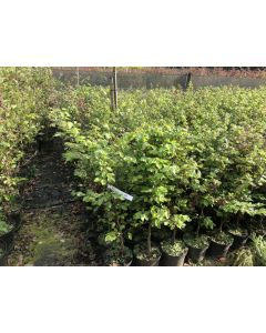 Beech Hedging Green Bare Root 60/80cm 3 Litre Pot