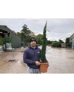 Cupressus sem. Totem 9 Litre Pot 100-125 cm