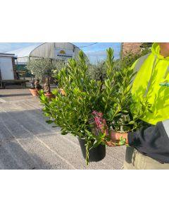 Azalea Japonica Orange Beauty 5 Litre Pot