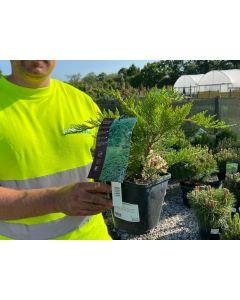 Juniperus Green Carpet 7.5 Litre Pot