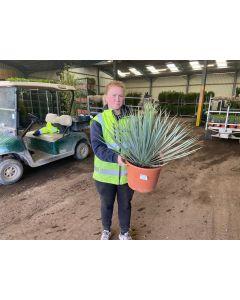 Yucca Rostrata 3 Litre Pot