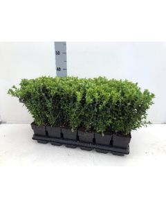 Box Sempervirens Hedging 30cm 1.5 Litre Pot