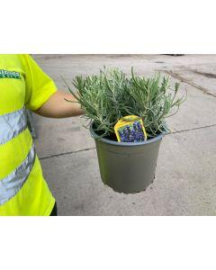 Lavender Angustifolia Hidcote 2 Litre Pot
