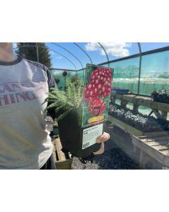 Achillea Red Velvet 11cm Pot