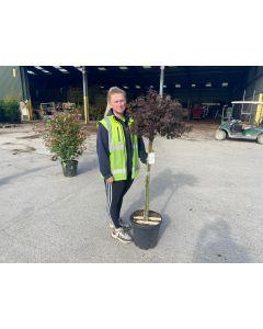 Acer Palmatum Skeeters Broom 1/2 Std 20 Litre Pot