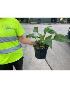 Echinacea Double Decker 2 Litre Pot