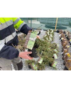 Juniperus Green Carpet 4.5 Litre Pot