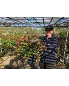 Abelia x Grandiflora Semperflorens 10 Litre Pot