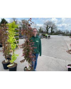 Acer palmatum Atropurpurea 20 Litre Pot Column Shape