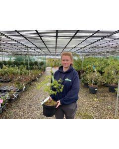 Acer palmatum Dissectum 7.5 Litre Pot