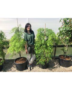 Acer palmatum Dissectum  50 Litre Pot