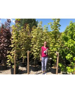 Acer Platanoides Drummondii 32 Litre Pot