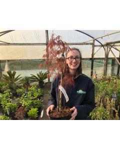 Acer palmatum dissectum Garnet 3 Litre Pot