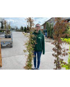 Acer palmatum Phoenix 20 Litre Pot Column Shape