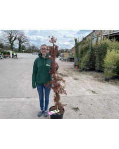 Acer Palmatum Skeeters Broom 20 Litre Pot Column Shape