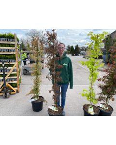 Acer palmatum Sumi-Nagashi 20 Litre Pot Column Shape