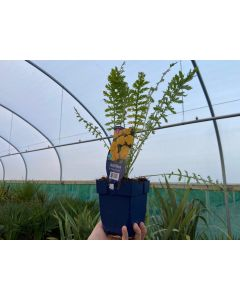 Achillea Cloth Of Gold 2 Litre Pot