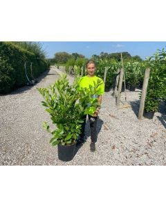 Laurel Hedging Cherry Laurel 15 Litre Pot 100-120cm Tall
