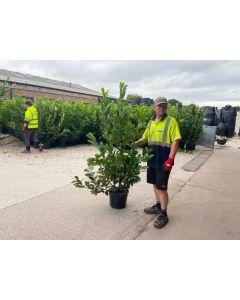 Laurel Hedging 15 Litre Pot 130-150cm