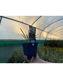 Agapanthus africanus White 11cm Pot