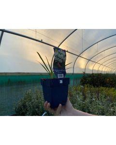 Agapanthus africanus White 1.5 Litre Pot