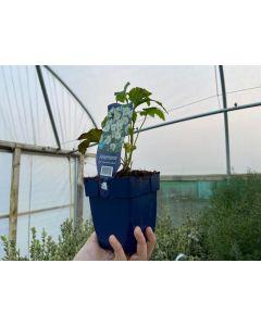 Anemone hyb. Honorine Jobert 11cm Pot