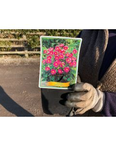 Anemone hyb. Pamina 11cm Pot