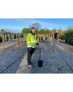 Apple Bramleys Seedling 10 Litre Pot