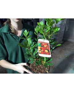 Arbutus Roselily 9 Litre Pot