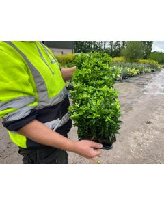 Euonymus Jap. Green Spire 9 cm Pot  X 12 Plant Pack