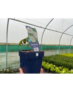 Astrantia major 11cm Pot