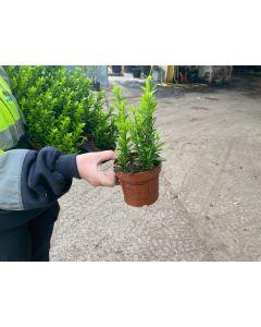 Euonymus Jap. Green Spire 10.5 cm Pot 25 cm