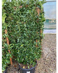 Euonymus japonicus Wall Frame 120 x 70cm 35 Litre Pot