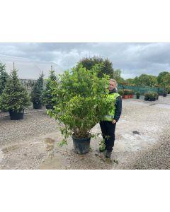 Hydrangea Paniculata Phantom 45 Litre Pot