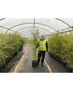 Bamboo Phyllostachys Aurea 25 Litre Pot 160/180cm