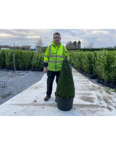 Buxus Cone 90/100cm Pot Newly Potted from Rootball