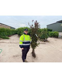 Beech Hedging Purple Bare Root 100/125cm Digging Now