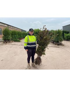 Beech Hedging Purple 3 Litre Pot 60/80cm