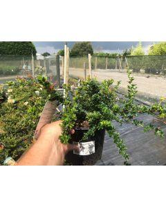 Berberis Buxifolia Nana 3 Litre Pot