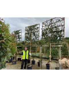 Photinia Red Robin Pleached Full Standard 180cm ST 150x150cm