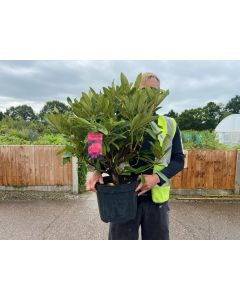 Rhododendron Hybrid Wilgen's Ruby 10 Litre Pot