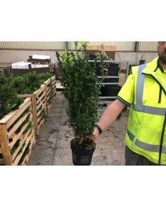 Box Sempervirens Hedging 30 cm 2 Litre Pot