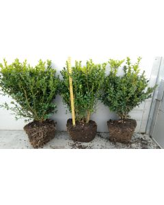 Box Hedging 35-40cm 5 Litre New Potted